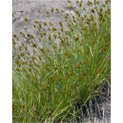 Carex bebii