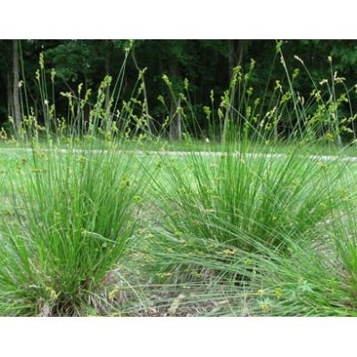 Carex bicknellii