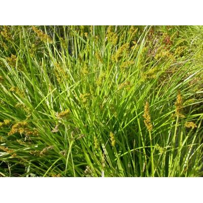 Carex stipata