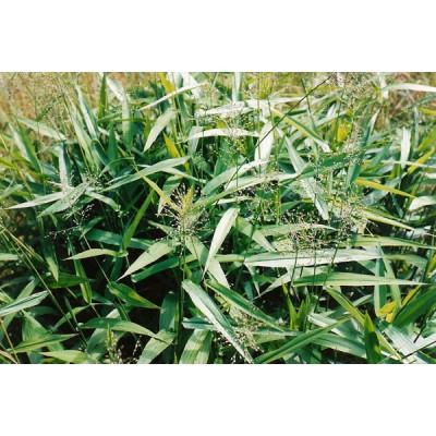 Dichanthelium clandestinum (syn. Panicum clandestinum)