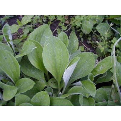 Antennaria parlinii ssp.falax