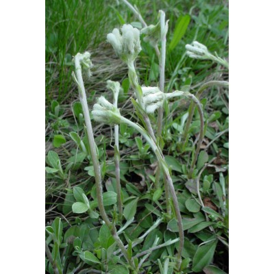 Antennaria howellii ssp.canadensis (A.canadensis)