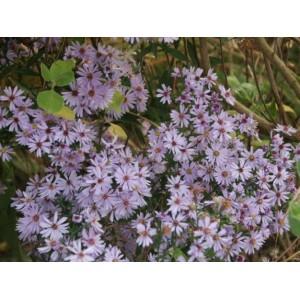 Symphyotrichum cordifolium (syn. Aster cordifolius)
