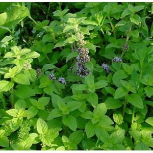 Mentha arvensis (syn. Mentha canadensis)