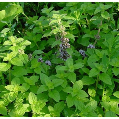 Mentha arvensis (syn. Mentha canadensis)